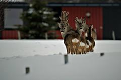 rådyrflokk (KvikneFoto) Tags: rådyr roedeer tamron nikon natur norge hedmark kvikne vinter winter snø snow 2018 bokeh