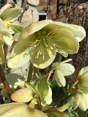 Helleborus niger (Martellotower) Tags: helleborus niger christmas rose garden flower petals sepals anther stamen calyx