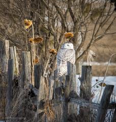 Fence post Hunter (CC Photographic) Tags: raptor hunting nikon birds bird snowyowl owl