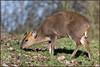 Muntjac (image 2 of 3) (Full Moon Images) Tags: rutland water wildlife trust nature reserve animal mammal muntjac deer