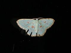 Comostola laesaria (dhobern) Tags: 2018 china lepidoptera march xtbg xishuangbanna yunnan geometridae geometrinae comostolalaesaria