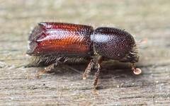 Xylocleptes bispinus M (kahhihou) Tags: taxonomy:kingdom=animalia animalia taxonomy:phylum=arthropoda arthropoda taxonomy:subphylum=hexapoda hexapoda taxonomy:class=insecta insecta taxonomy:subclass=pterygota pterygota taxonomy:order=coleoptera coleoptera taxonomy:suborder=polyphaga polyphaga taxonomy:infraorder=cucujiformia cucujiformia taxonomy:superfamily=curculionoidea curculionoidea taxonomy:family=curculionidae curculionidae taxonomy:subfamily=scolytinae scolytinae taxonomy:genus=xylocleptes xylocleptes taxonomy:species=bispinus taxonomy:binomial=xylocleptesbispinus xylocleptesbispinus