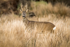 Roe Buck (cazalegg) Tags: roe deer buck scotland wildlife antlers mammal