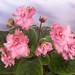 非洲紫羅蘭 Saintpaulia Mermaid's Kiss     [香港花展 Hong Kong Flower Show]