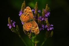 DSC_2748butterfly (Pete Potter) Tags: knox