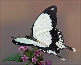 Male African Swallowtail (Papilio dardanus)