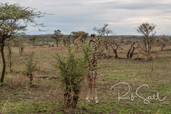 Masai Giraffe (robsall) Tags: 2016 24105 24105f4isusm 5dm3 5dmark3 5dmarkiii 5dmiii africa africatourism africawildlifephotography africanwildlife canon canon24105f4isusm canon24105mm canon5d canon5dmarkiii canon5dm3 canoneos canoneos5dm3 family giraffacamelopardalistippelskirchi giraffe giraffes kilimanjarogiraffe mammal masaigiraffe masaigiraffes robsallaeiral robsalldrone robsalldronephotography robsallphotography robsallwildlifephotography tanzania tanzania2016 vacation mararegion