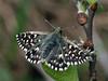 Pyrgus malvae - Grizzled skipper - Толстоголовка малая мальвовая (Cossus) Tags: 2017 hesperiidae pyrginae pyrgus пестово толстоголовка skipper