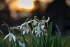 Snowdrops in the sunset (alexander_skaletz) Tags: sun sunny macro bokeh landscapes landscape landscapephotography nature photography snowdrops grass sunset green flowers yellow march flower village germany badenwürtemberg nikon nikond5300 spring naturelovers