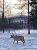 """""""Suffering is universal. It's the one thing Buddhists, Christians, and Muslims are all worried about."""" ―John Green ❄️ 🌲 ❄️ (anokarina) Tags: caribou elk ⛄️ ☃️ ❄️ ⛰ 🌅 🌳 🌲 indianmountainlrrsairport alaska ak snnow winter moose wild animal mountains trees woods clouds wilderness nature natural"""