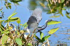 Tricolored Heron (M. Coppola) Tags: circlebbarreserve polk florida