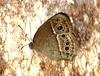 IMG_1713/Thailand/Koh Samui Island/Mycalesis Visala Phamis/Wet season/male (dany13) Tags: mycalesisvisalaphamis wetseason male butterfly papillon thailand kohsamuiisland