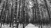 Winter silence (Milen Mladenov) Tags: 2018 bw blackandwhite bulgaria landscape landscapephotography montana cold earlyspring forest latewinter lonely nature naturephotography path season silence snow spring stump trail tree trees trunks walk winter wood woods