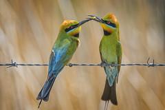 rainbow bee-eaters (Fat Burns ☮ (gone bush)) Tags: rainbowbeeeater meropsornatus beeeater bird australianbird fauna australianfauna oxleycreekcommon nikond500 sigma150600mmf563dgoshsmsports sigmatc140114xteleconverternik