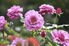 (卡魯=KARU) Tags: 玫瑰 rose バラ 士林官邸 臺北 臺灣