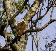 20180324-0I7A7577 (siddharthx) Tags: canonef100400f4556isiimanjeeradammanjeerasanctuaryb telangana india in canonef100400f4556isiimanjeeradammanjeerasanctuarybirdtelanganagoldenhourdawnsunrise brahminykite redbackedseaeagle kite birdsofindia birdonabranch birdsoftelangana bird birdofprey