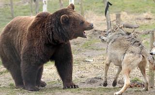brown bear Hoenderdaell BB2A2002