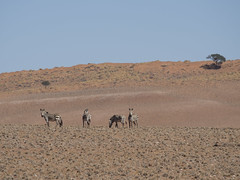 Mountain zebras (Paula_I) Tags: namibia africa namib safari etosha zebras mountainzebra