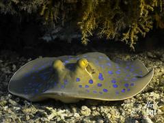 IMG_4507-M1s (oalard) Tags: redsea merrouge g16 sousmarine submarinephotography plongee dives egypt egypte
