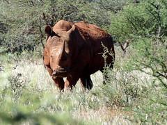White Rhinoceros / Ceratotherium simum (Proteus_XYZ) Tags: southafrica südafrika northerncape mokalanationalpark whiterhinoceros ceratotheriumsimum