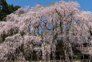 桜_10/ Sakura (Cherry blossoms)