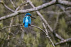 Common Kingfisher (male) (arnewuensche66) Tags: commonkingfisher alcedoatthis eisvogel animals birds wildlife nature fauna avifauna