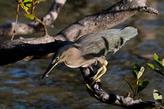 Striated Heron Fishing (armct) Tags: mangrove heron butoridesstriata fishing wader estuary creek shoreline bereebadalla currumbin morning dappled waterbird mudflat fish breakfast goldcoast queensland