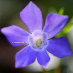 . (CarloAlessioCozzolino) Tags: fiore flower natura nature macro cornatedadda portodadda apocynaceae vinca pervinca giovannipascoli poesia poems
