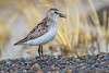 Semipalmated Sandpiper (Eric Gofreed) Tags: alaska barrow sandpiper semipalmatedsandpiper