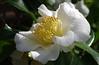Camellia (Violet aka vbd) Tags: pentax k3 vbd hdpentaxda55300mmf4563edplmwrre il illinois flower camellia lincolnparkbotanicalgarden petals pistils stamen pollen 2018 winter2018 handheld manualfocus white