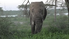 Time to leave.... (Hector16) Tags: ndutu wildebeestmigration eastafrica tanzania wildlife serengeti migration nature lakemasek elephant