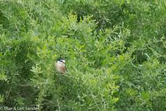 israel-lifers-7 (lensander2015) Tags: birds shrikes