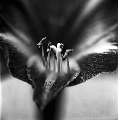 Grainy Little Lily (Nobusuma) Tags: hasselblad500cm hasselblad zeissplanar 80mm f28 120 6x6 closeupfilter fujiacros neopan 100asa caffenolcm homemadesoup flower flowermacro macro idevelopmyfilms developedathome 白黒 ハッセルブラッド マクロ 花 blackandwhite bw