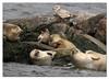 Harbor Seals (Redtail10025) Tags: harbor seal watching swinburne island breezy point reis landing american princess boat tour nyc wildlife water rocks