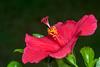 Too Red - _TNY_3988 (Calle Söderberg) Tags: macro canon canon5dmkii canoneos5dmarkii canonef100mmf28usmmacro flash meike mk300 glassdiffusor flower red hibiscus rosasinensis hibiskus vietnam phuquoc mercuryphuquocresortvillas malvaceae hibisceae chinesehibiscus chinarose hawaiianhibiscus rosemallow shoeblackplant blackbackground f95