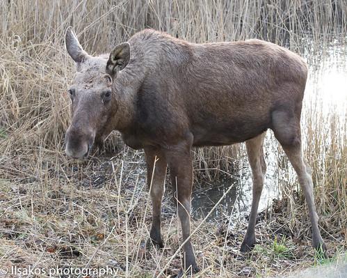 moose at natuurpark lelystad