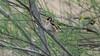 Cadernera,  Jilguero europeo,  European Goldfinch  (Carduelis carduelis) (Francesc Farran) Tags: flix aves animales animal pajaros pájaro ornitologia ocells birds birdphotography wild naturephotography