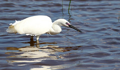 Little Egret fishing. (Chris Kilpatrick) Tags: chris canon7dmk2 canon sigma150mm600mm sigma outdoor wildlife nature littleegret bird salbufera mallorca spain april water fishing animal