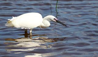 Little Egret fishing.