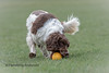 15/52 Got it (Flemming Andersen) Tags: grass zigzag spaniel pet hund ball dog cocker yellow 52weeksfordogs fetch animal viby centraldenmarkregion denmark dk
