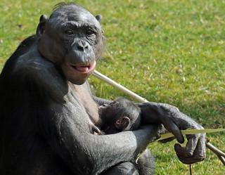 Bonobo Apenheul BB2A1511