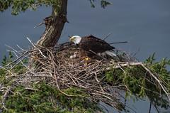 Eaglet (Martin Dollenkamp) Tags: vancouverisland britishcolumbia birds canada eagle baldeagle haliaeetusleucocephalus denman