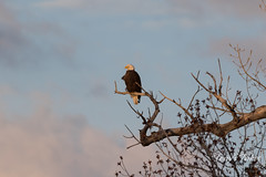 Male Bald Eagle in the early morning light