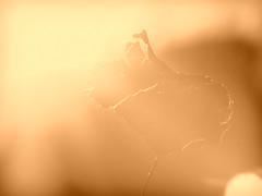 A sunny leaf (mrsparr) Tags: leaf smileonsaturday backlitcloseup sky sunny 365 humberbayparkeast toronto ontario canada flickrfriday flare