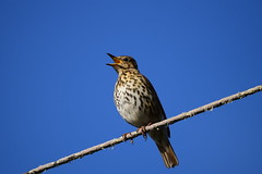 Song Thrush (Terry Angus) Tags: thrush songthrush norden rochdale bird uk