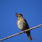 Song Thrush thumbnail