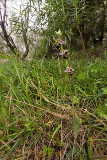 Ophrys scolopax ssp. cornuta