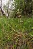 Ophrys scolopax ssp. cornuta (f.mangili) Tags: ophrys scolopax cornuta gargano wild orchids orchidee selvatiche spontanee vieste peschici