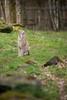 DSC_5514 (Firas Abolfadl) Tags: hanau steinheim luchs wild animal tiere natur nikon