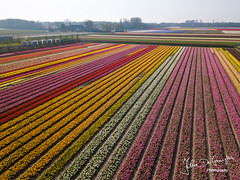 Tulip fields (John DG Photography) Tags: tulips netherlands lisse 2018 flowers bulp